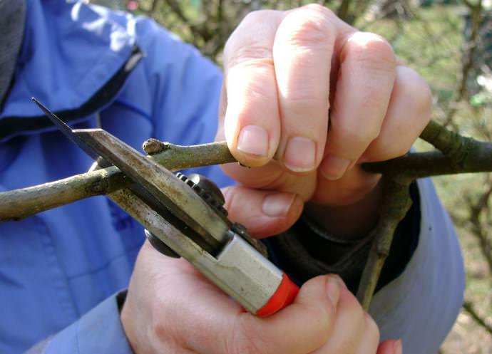 Летние груши: отзывы и описание сортов