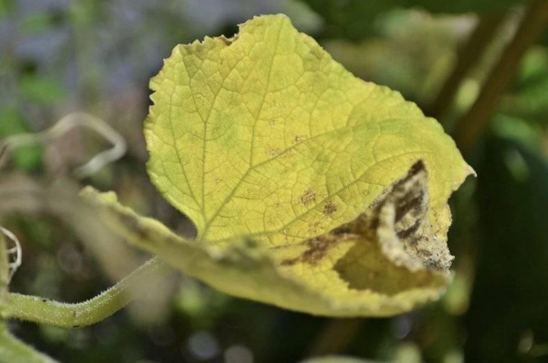 Почему у огурцов желтеют и сохнут листья и что с этим делать? – дачные дела