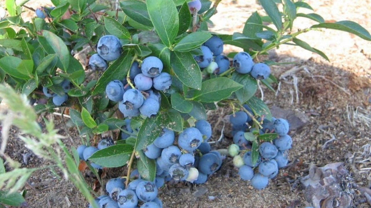 Голубика: выращивание в саду, сорта