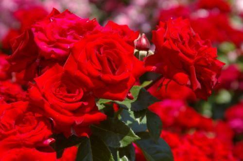 Как и чем укрыть розы на зиму сроки, правила и лучшие материалы для укрытия