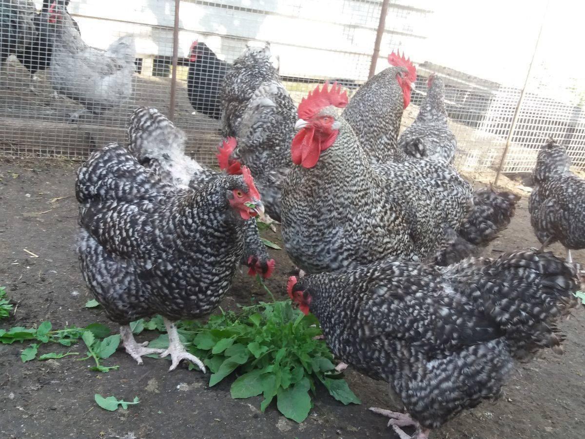 Малин порода кур описание, фото и видео мехеленская кукушка