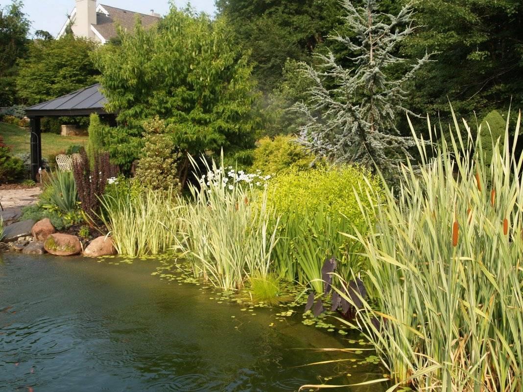 Растения для пруда на даче - основной перечень с описанием и фото