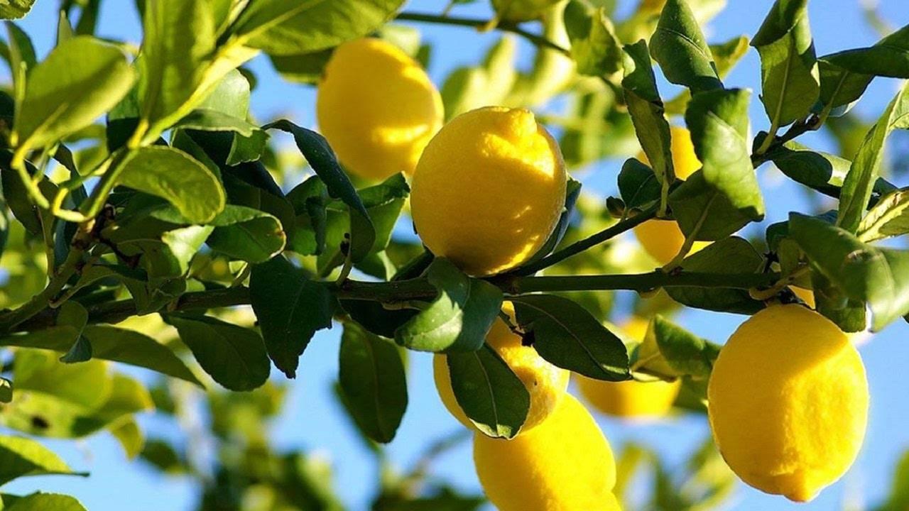 Идеальная земля для лимона: готовим грунтовую смесь в домашних условиях