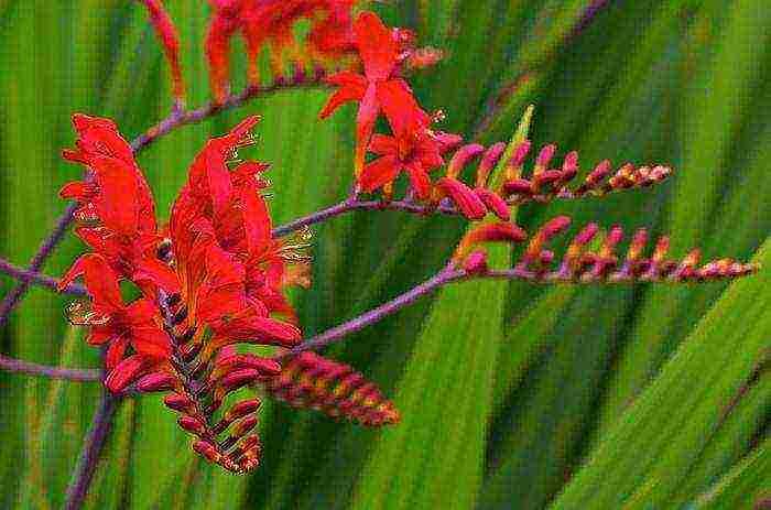 Крокосмия посадка и уход в открытом грунте, когда выкапывать и как харнить зимой (+фото цветка)