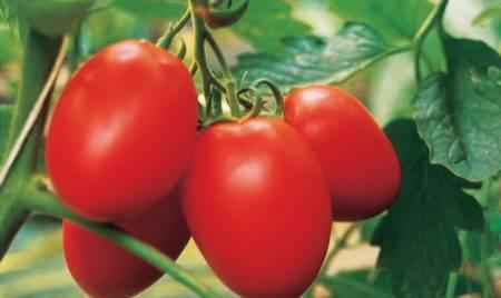Томат знатный толстяк f1 описание сорта его урожайность и выращивание с фото