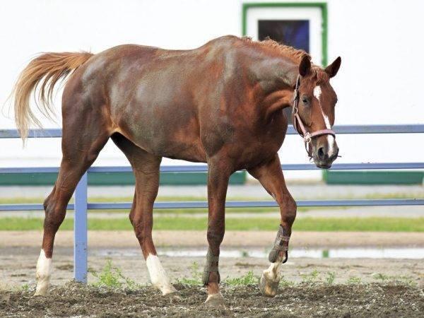 Описание тракененской породы лошадей