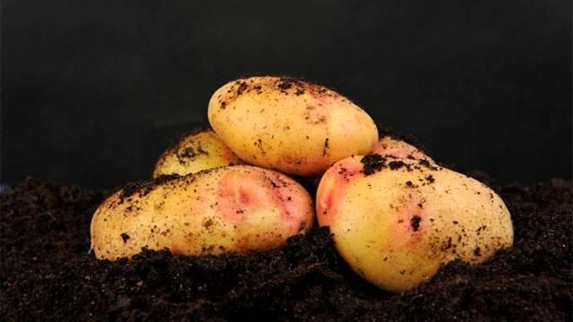 Болезни картофеля: описание, способы лечения, борьба с заболеваниями, фото
