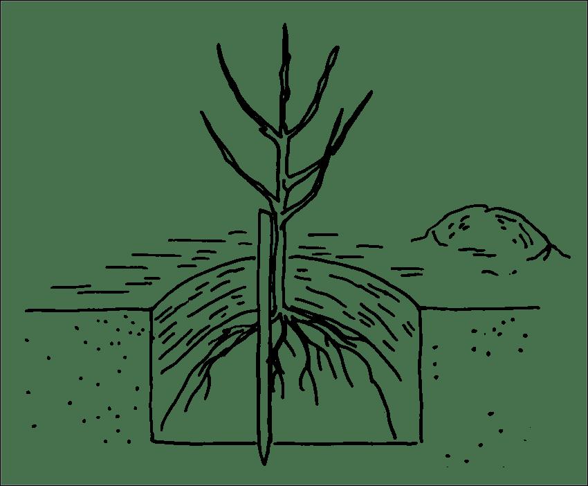 Как посадить саженец яблони весной: сроки, правила и пошаговое руководство