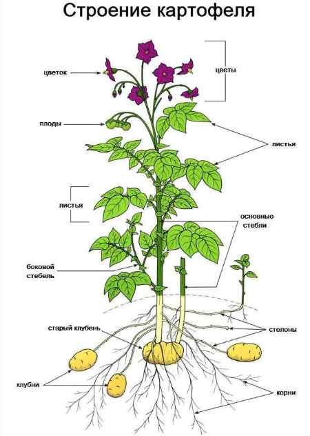 Плод картофеля называют: картошка это овощ или нет, тип корнеплод или клубень, ягода или фрукт, есть ли плоды, чем является, к чему относится