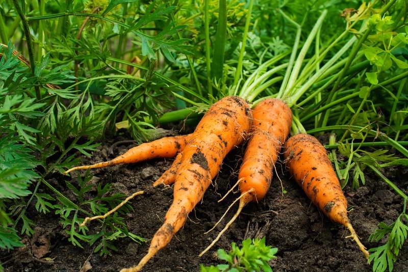 Чем подкормить морковь в период вегетации после всходов (в июне и июле)