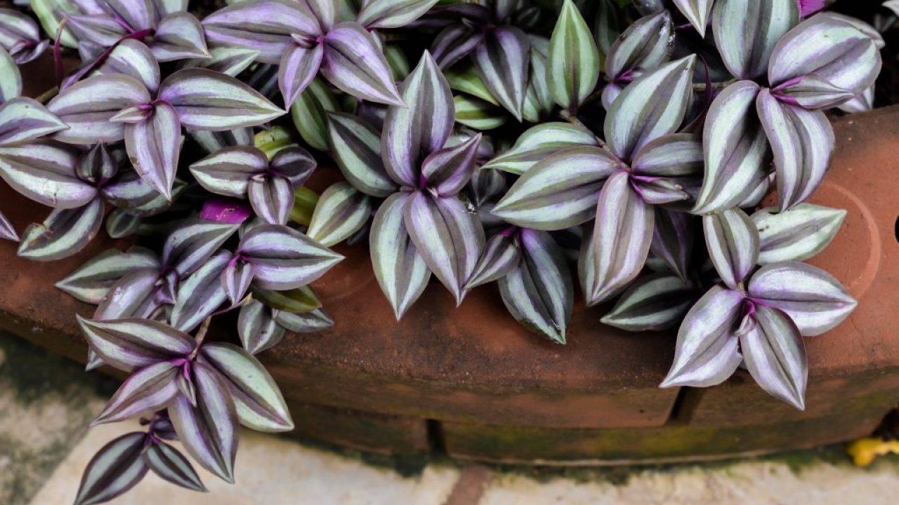 Фиалка: приметы и суеверия, в том числе для женщин, можно ли держать её дома, к чему цветет комнатная сенполия и почему нельзя выращивать цветок в квартире незамужней девушки