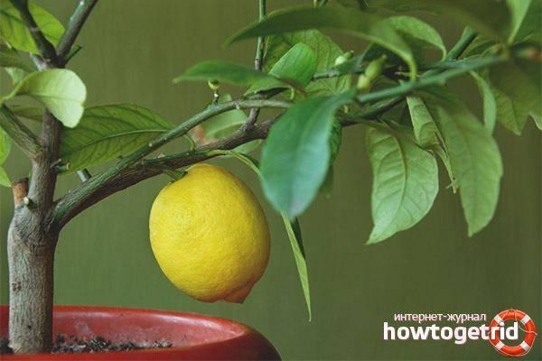 Почему желтеют листья у комнатного лимона и что с этим делать - причины и способы исправления ситуации