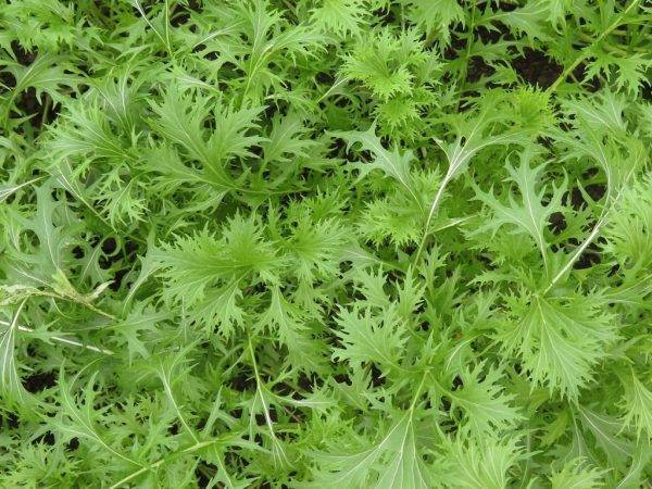 Японская капуста мизуна: выращивание и уход (фото)