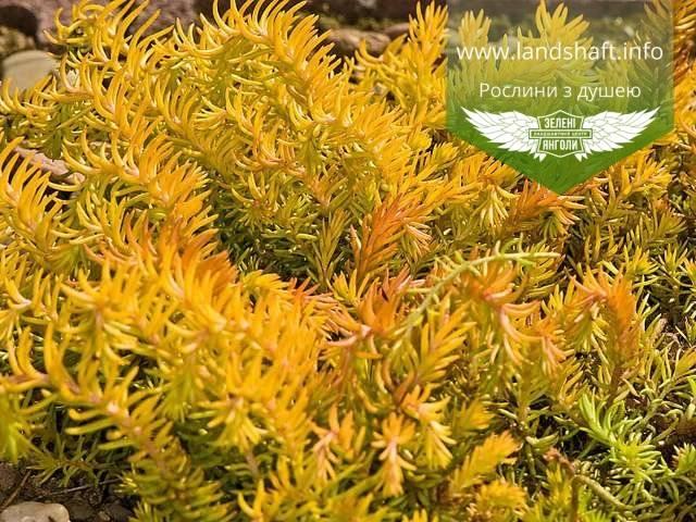 Очиток почвопокровный (36 фото): описание стелющегося седума с ползучими побегами, посадка и уход, желтые и красные сорта