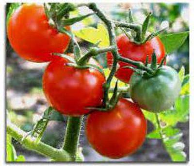 Свойства стимулятора плодообразования томатон | топ сад