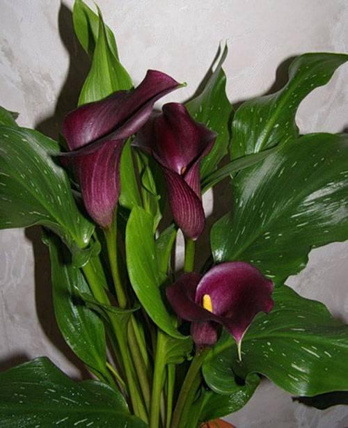 Каллы: выращивание в саду и дома