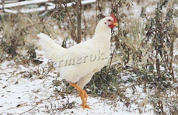 Русская хохлатая порода кур: описание, фото, отзывы, видео
