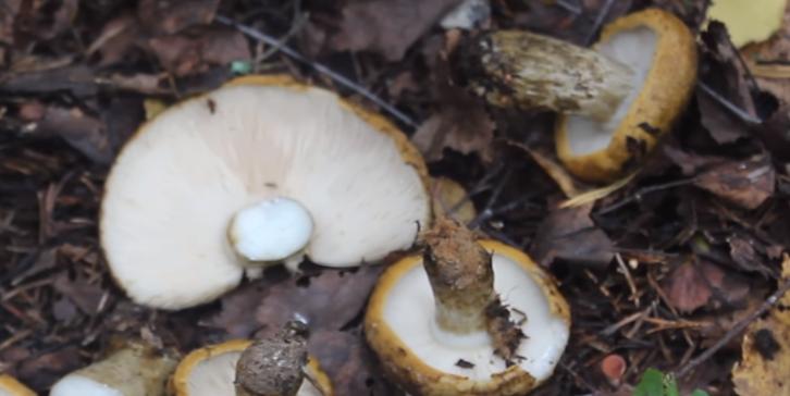 Груздь черный или млечник чахлый: фото, описание и рецепты приготовления гриба