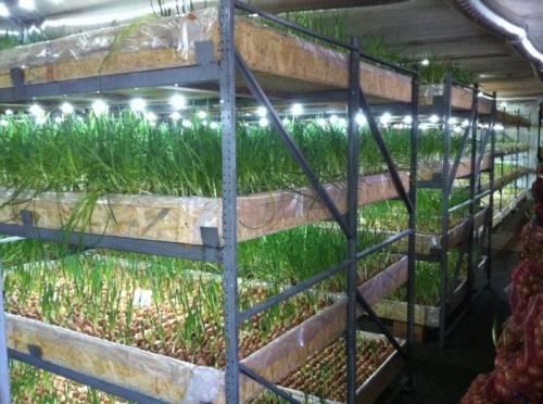 Как вырастить лук на зелень из семян