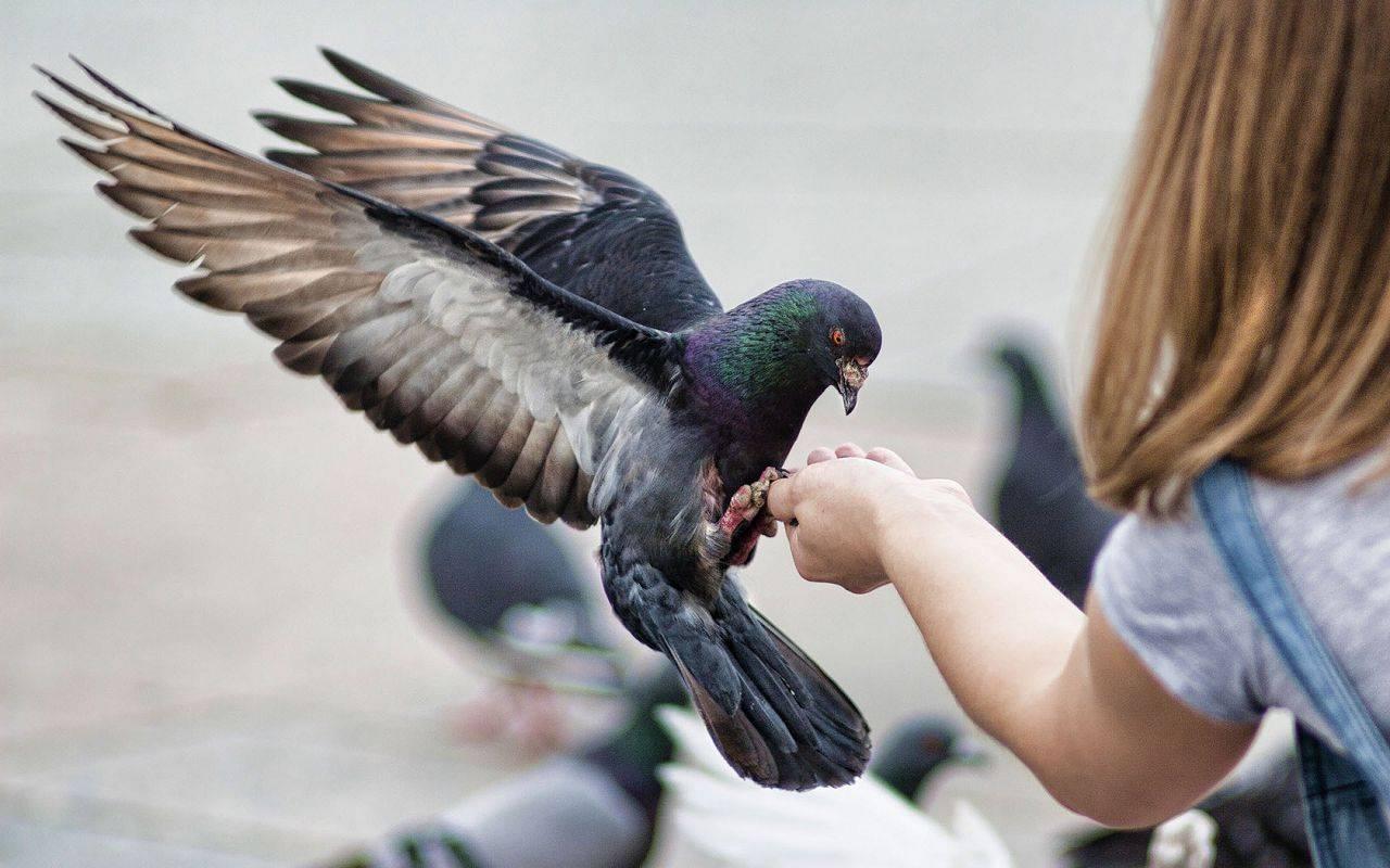 Как отличить голубя от голубки внешне
