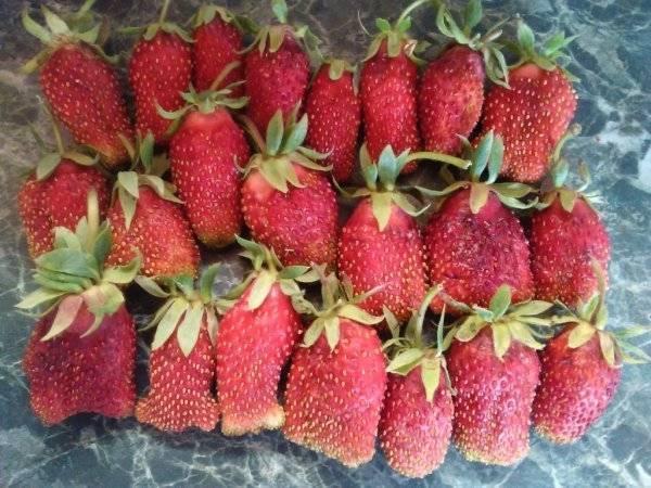 Сорт клубники «купчиха»: достоинства, описание и агротехника сорта