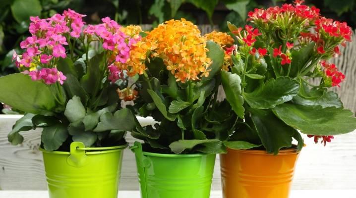 Неприхотливые комнатные цветы цветущие круглый год - названия и фото