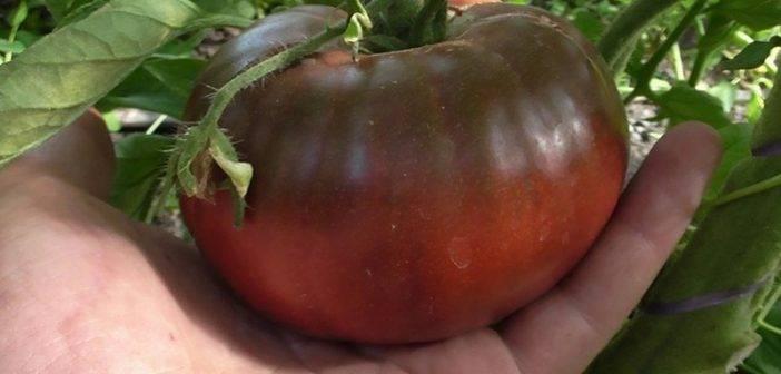 Секреты успешного выращивания томата «черный мавр»