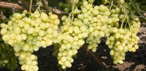 Виноград супер экстра: история, описание, характеристики, плюсы и минусы сорта + характерные особенности выращивания