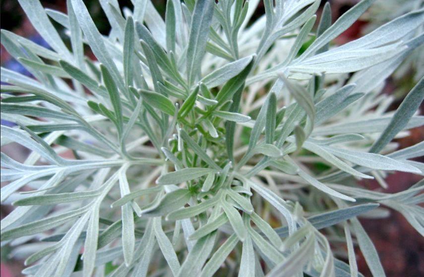 Полынь: польза и вред растения для человека | food and health