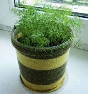 Особенности выращивания укропа в домашних условиях на подоконнике и грядке
