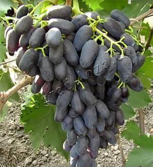 Виноград ромбик - сорта винограда | описание, советы, отзывы, фото и видео