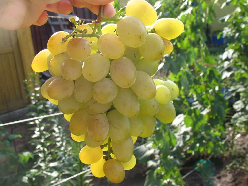 """Характеристики столового винограда """"аркадия"""", описание сорта"""