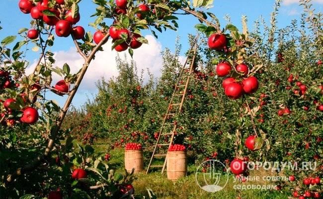 Яблоня сябрына: описание, фото, отзывы
