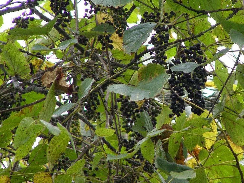Виноград кишмиш — морозоустойчивые сорта, свойства, правила посадки и ухода