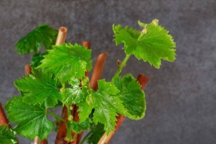 Сорта винограда для вина: особенности выращивания