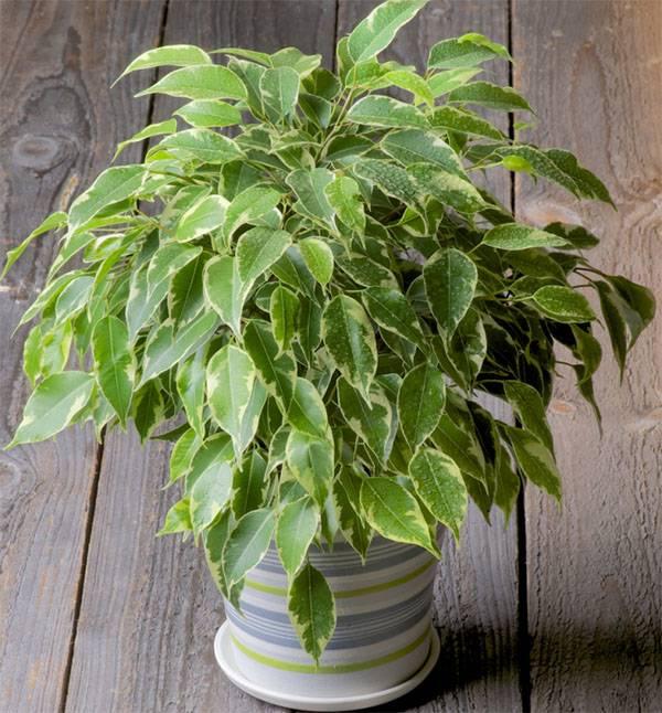 Самые крупные комнатные растения: топ-23