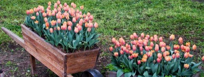 Время и этапы высадки луковиц тюльпанов перед зимой - когда и как