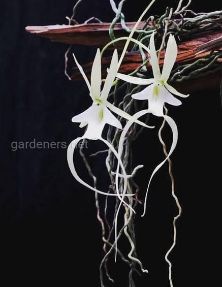 5 самых популярных и простых в уходе драгоценных орхидей
