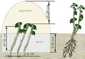 Боярышник в саду! как посадить, размножать и ухаживать