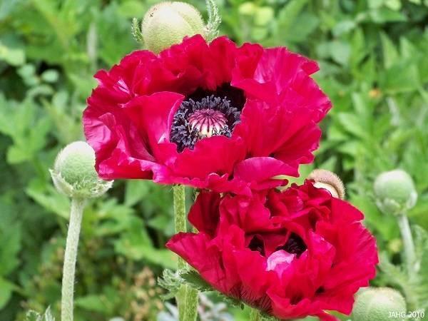 Растение мак: фото, сорта, выращивание, посадка и уход в открытом грунте