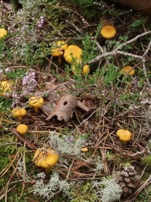 Лисички: где растут и когда их собирать? фото и описание.