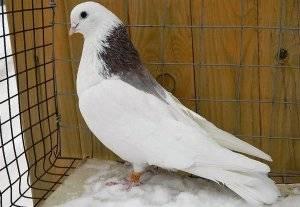 Вертячка у голубей: причины, симптомы и методы лечения