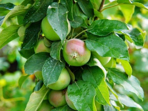 Колоновидная яблоня конференция: описание, фото, отзывы