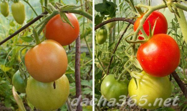 ᐉ томат самара: описание сорта, фото, тонкости выращивания - orensad198.ru