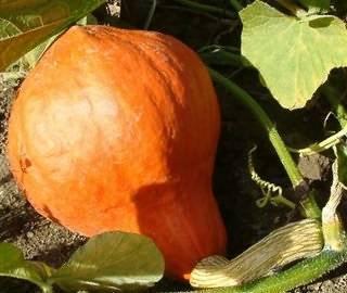 Посадка тыквы семенами в открытый грунт: когда и как правильно сажать + видео