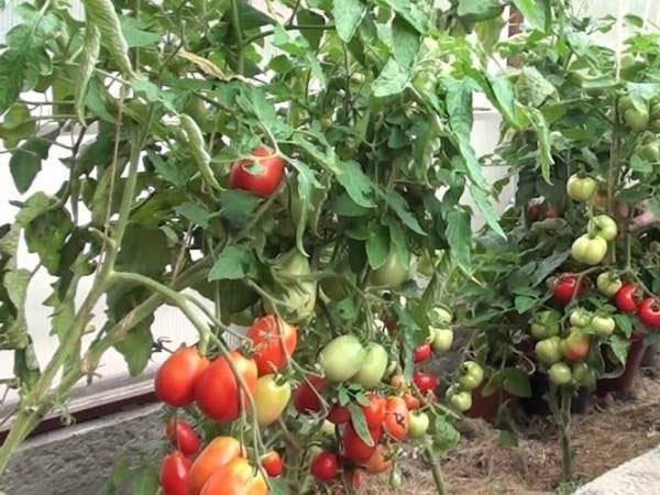 Как посадить помидоры в теплице правильно