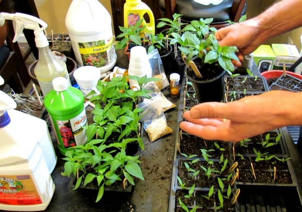 Как и чем подкормить рассаду перца в домашних условиях: схема, сроки, удобрения