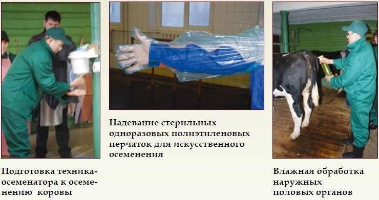 Способы искусственного оплодотворения животных (крс), время осеменения коров