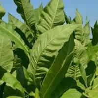 Выращиваем табак в домашних условиях. пособие по выращиванию табака