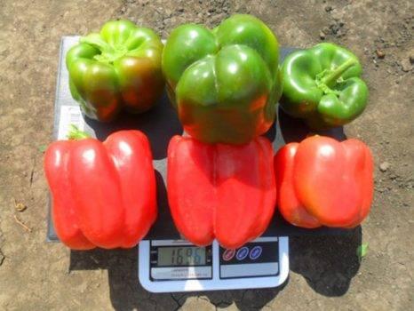 Перец геркулес: описание, отзывы, фото, урожайность